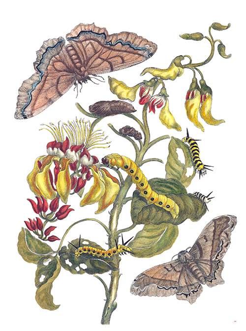http://ww2.openmlol.it/media/maria-sibylla-merian/giant-silk-moths-and-purple-coraltree/705404