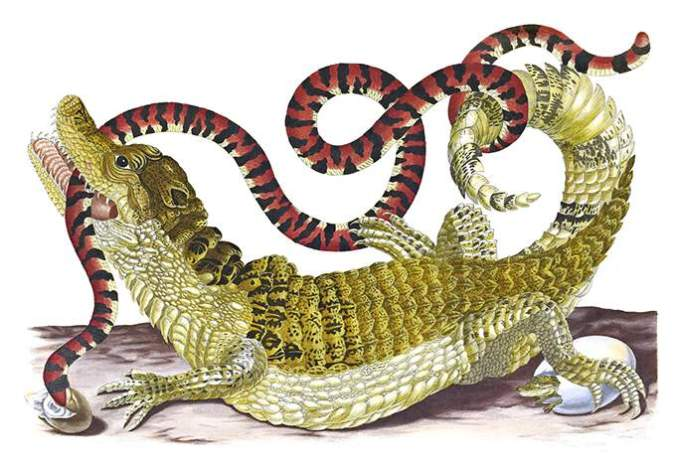 http://ww2.openmlol.it/media/maria-sibylla-merian/spectacled-caiman-and-american-pipe-snake/702396